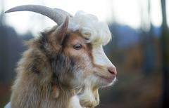 Furry farmyard goat with curly hair at zoo Stock Photos