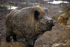 Wild boar at the zoo Stock Photos