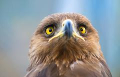 Birds of prey - Aquila pomarina - Lesser Spotted Eagle - stock photo