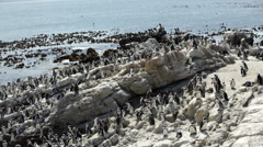 Pan from a big penguin colony Stock Footage
