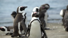 Penguin winking with his eye towards the camera Stock Footage