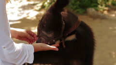 Girl feeding a bear from hand in Zoo Stock Footage