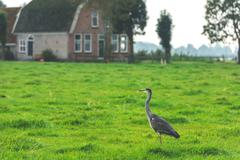 Wild grey heron on a bright green grass - stock photo