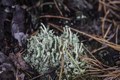 lichen closeup macro cladonia - stock photo