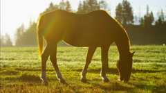 Horse grazing on Livestock Ranch Wilderness area America - stock footage