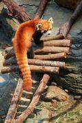 Red panda at zoo Stock Photos