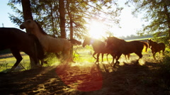 Running horses in Roundup on forest Cowboy Dude Ranch America - stock footage