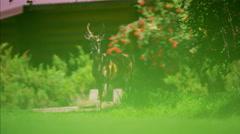 American Rockies Wild Deer on Ranch in National Park feeding Stock Footage