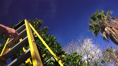 Man climbing ladder to pick oranges, fruit and palm tree Stock Footage