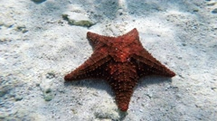Starfish on natural environment - stock footage