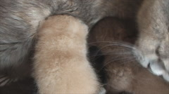 British cat feeds and washes her kittens - stock footage