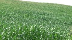 Green Cornfield plantation Stock Footage