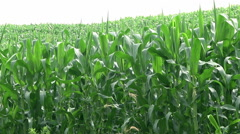 Green Cornfield with leaves at wind Stock Footage