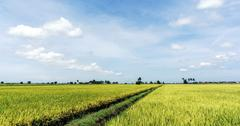Golden green paddy rice field - stock photo