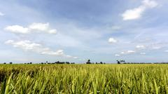 Paddy rice field with blue sky background Stock Photos