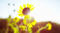 Sunflowers in the sunlight Badlands Dakota National Park Stock Footage