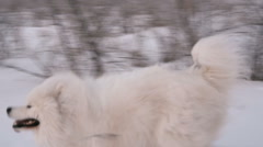 The white dog running in the snow. Nearby stands a woman. Winter. Slow motin Arkistovideo