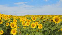 Blue sky with cloud on sunflower field time lapse Stock Footage