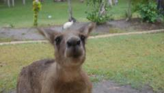 Young Eastern Grey Kangaroo Closeup to camera  Stock Footage