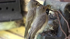 Couple of bird parents feed brood with wasp and bee insects in nest. 4K Stock Footage