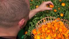 Male gardener guy harvest herbal marigold flower blooms to wicker dish. 4K Stock Footage