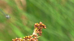 Dragonfly alights on a stem - stock footage