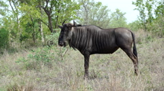 Wildebeest with itchy back in Kruger National Park South Africa Stock Footage