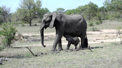 Elephant calf drinking milk in Kruger National Park South Africa Stock Footage