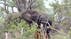 Male and female elephant touching each other with the trunk Stock Footage