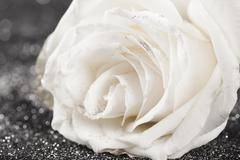 White rose on sparkling glittering  background Stock Photos