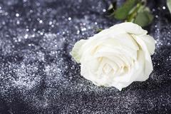 White rose on sparkling glittering  background - stock photo