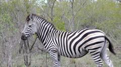 Pan from a zebra walking away Stock Footage