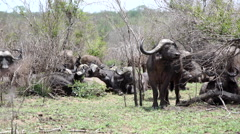 Group of african buffaloes Stock Footage