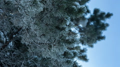 Christmas tree branch snow cold Stock Footage