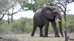 Big elephant passing by Stock Footage