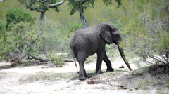 Elephant searching for food with his trunk Stock Footage