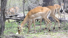 Close up from two impalas eating Stock Footage