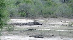 Rhino sleeping in a dry waterpool Stock Footage