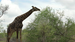 Giraffe eating from a tree Stock Footage