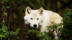 Wild grey wolf scavenging for food outdoor on National Reserve - stock footage