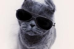 Portrait of British shorthair gray cat wearing sunglasses closeup - stock photo