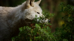 Wolf roaming natural wilderness habitat hunting for food - stock footage