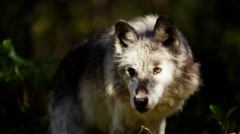 Lone wolf hunting outdoors in woodland Stock Footage