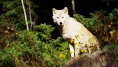 Powerful North American wolf in woodland wilderness Stock Footage