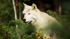 Grey wolf hunting in outdoor woodland Stock Footage