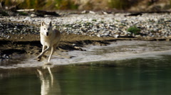 Grey wolf beside a river in National Reserve Stock Footage