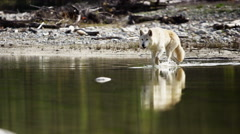 Wolf roaming natural wilderness river habitat hunting for food - stock footage
