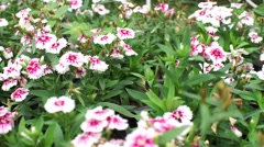 Dolly shot of pink dianthus chinensis flowers in the garden Stock Footage