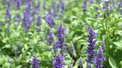 Dolly shot of blue salvia purple flowers, mint family plant Stock Footage