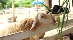 White and black sheep eating grass, dolly shot Stock Footage